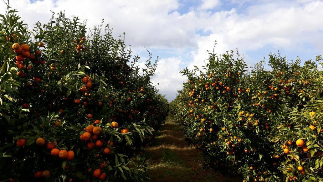 Mandarina e Konispolit që po konkuron edhe Greqinë, Spanjën e Italinë