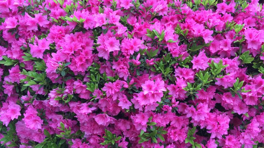Niseni pranveren me nje lule   'Azalea'