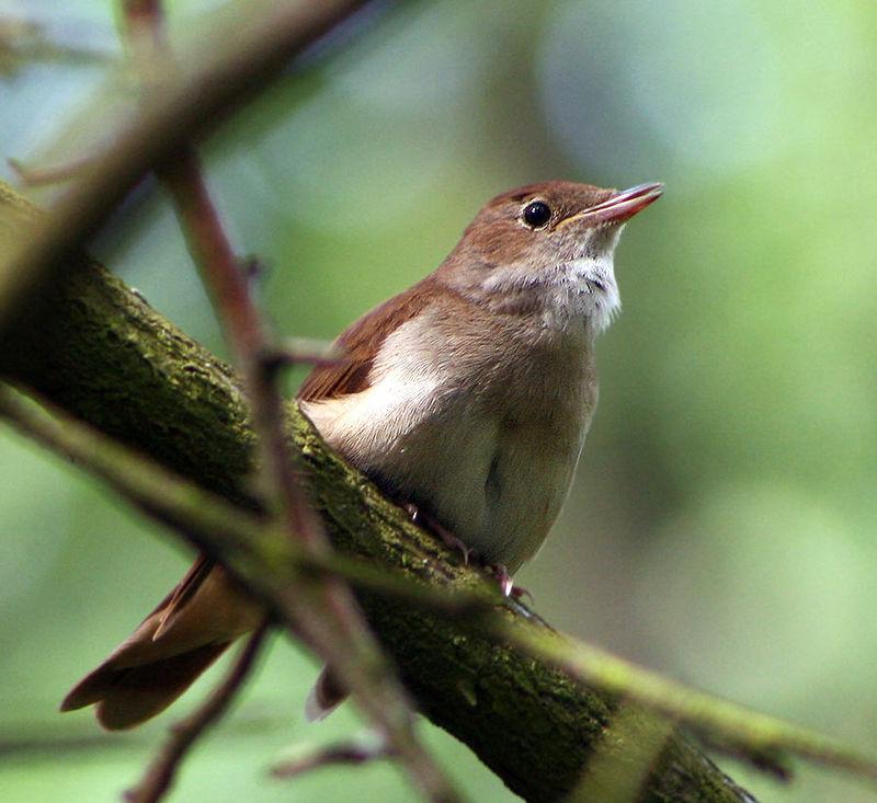 Fëmijët dhe Dita e Zogjve,  dirigjentët e munguar në korin e cicërrimave në lëndinat, avlirat dhe kuriozitete