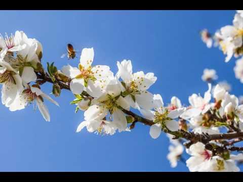 Lulet e bajameve në kopshtet e lagjes Hazmurat të qytetit të Gjirokastrës
