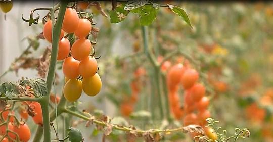 5 mije leke te vjetra 1 kg domate, zbuloni varietetin dhe si ka ndodhur...