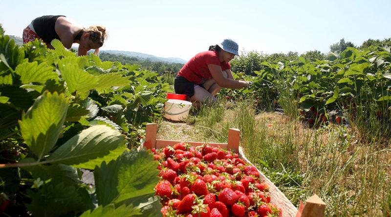 Shtyhet leja e tregut të punës për punetoret sezonal shqiptare ne Greqi