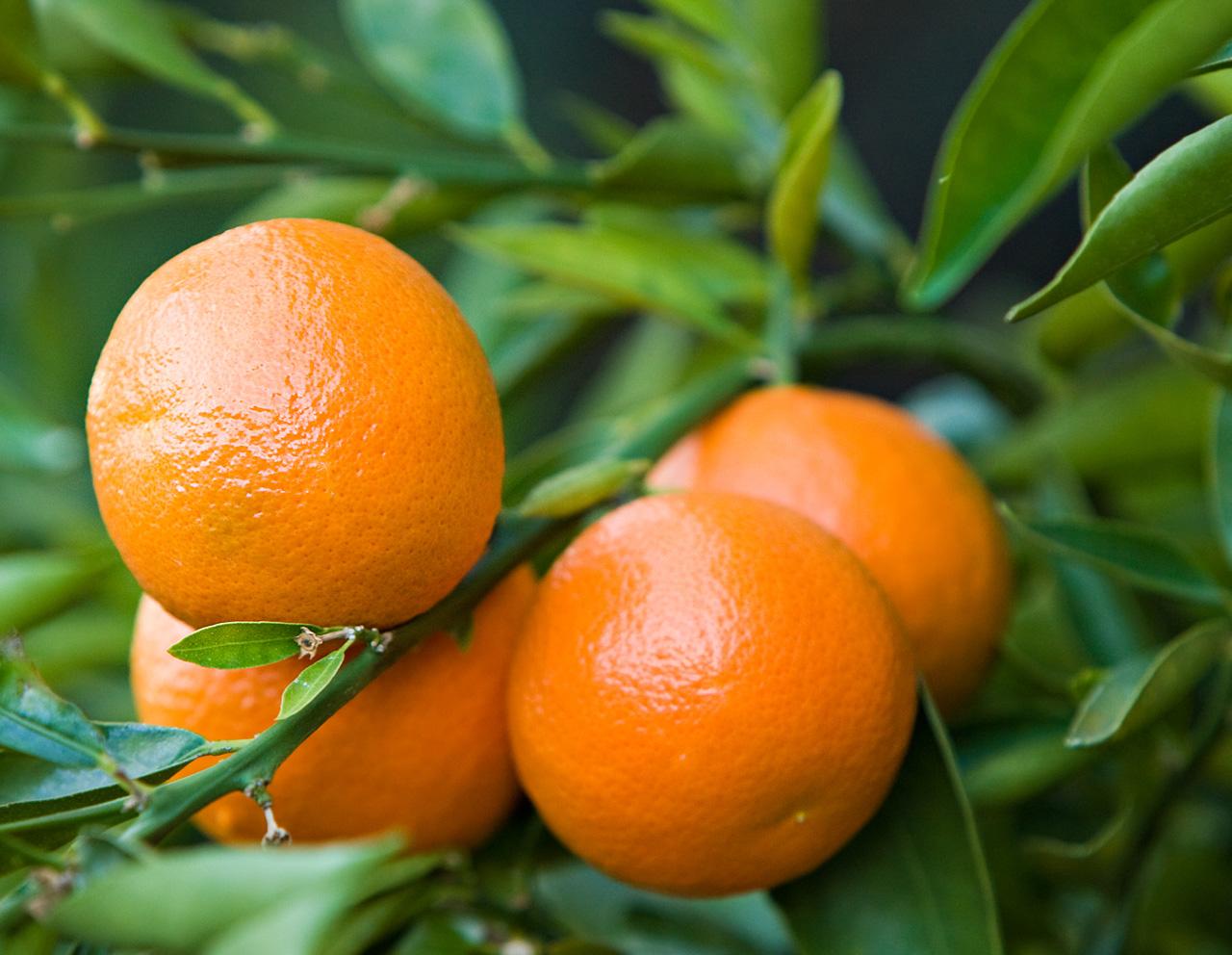 Hajde te gjejme: Kur u kultivuan portokallet e para ne Gjirokaster?!