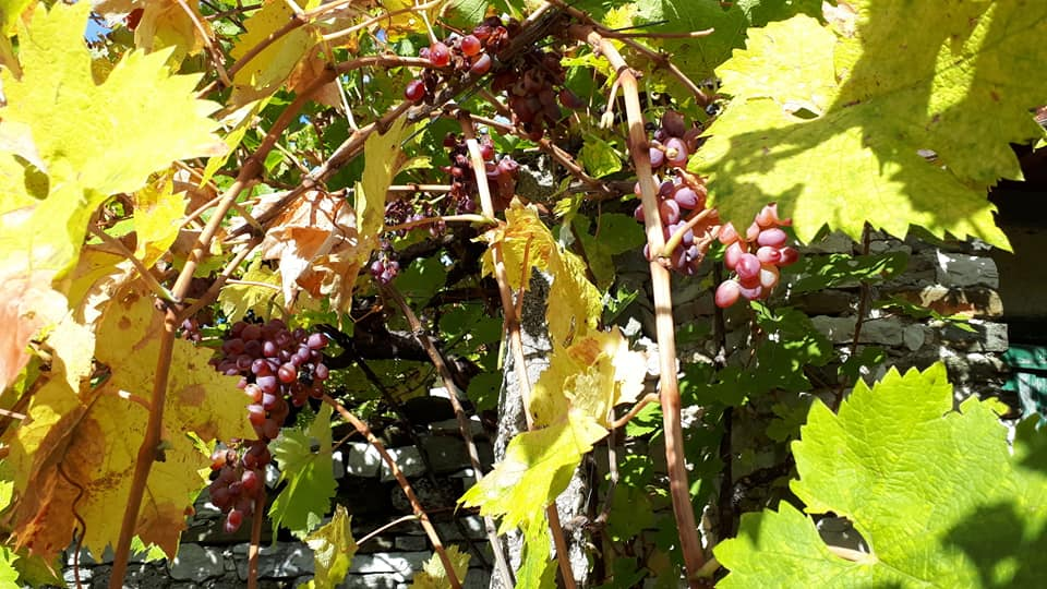 Kopanet me rrush dhe mollët e fundit të kësaj vjeshte në avlinë e kameramanit Ylli Çapi!