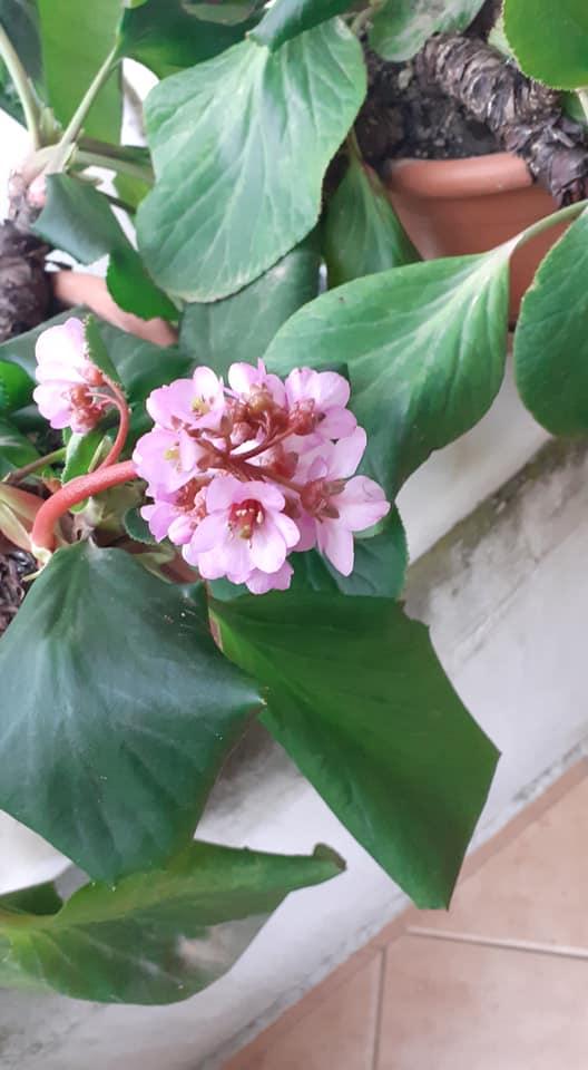 """Moti sot ne Gjirokaster, lulet """"trimëresha"""" që rezistojnë në minus 4°C"""