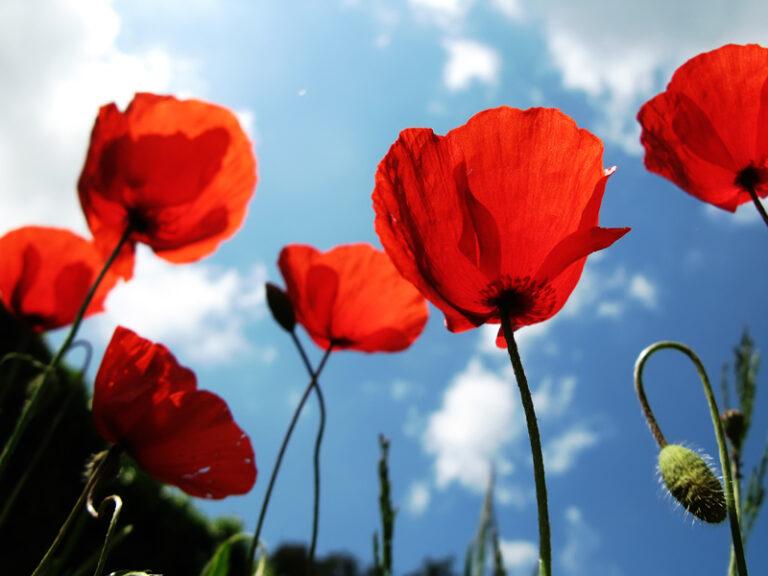 Lulja me rrezatuese ne Shqiperi dhe vlerat e saj