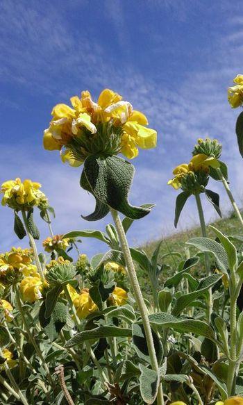 Lule e Erindit, e bukur dhe me leng te embel por te jep alergji, a eshte e vertete?